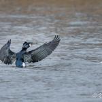 Great cormorant - Ridgefield, NJ