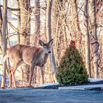 Curious Deer, Beacon, NY