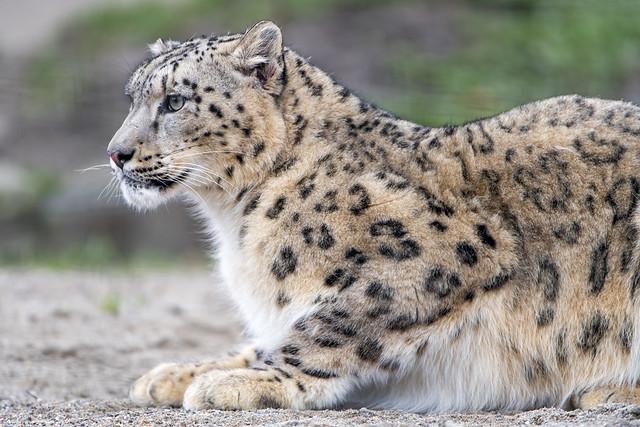 Profile of a posing snow leopard