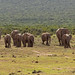 Elephants headed to the water hole