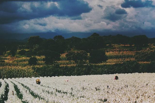 Cosecha en los campos  de nube antes de la tormenta.