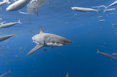 Image by George Probst (sharkpix) and image name Young female great white shark photo  about Mikaela Victoria was the 195th individual to be identified at Isla de Guadalupe through the photo identification project. She was first documented at the island in 2015.   Each individual white shark has a unique countershading pattern (where the upper grey color meets the lower white skin), which a