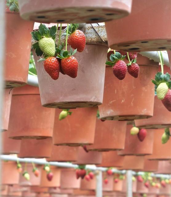 strawberry farm (2)