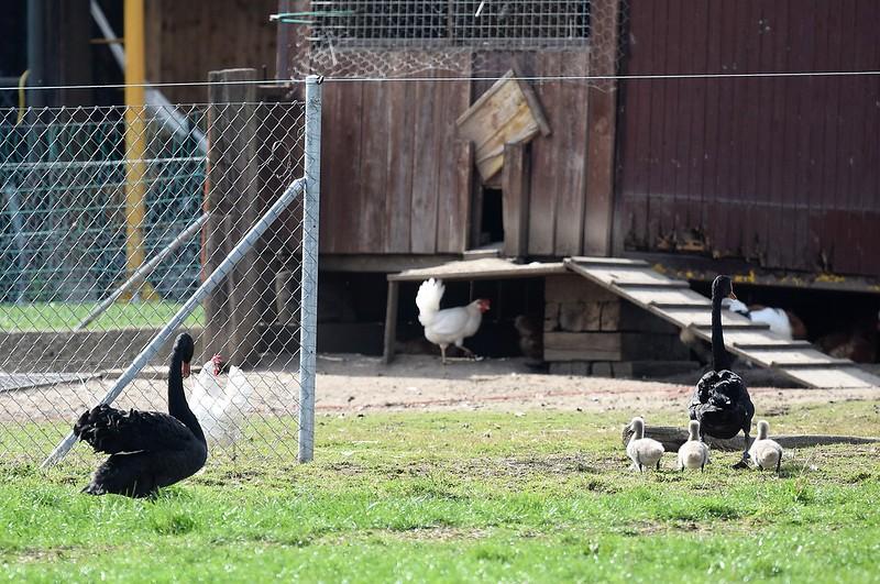Black Swans 15.04 (11)
