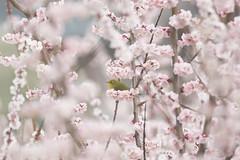 Little green bird (mejiro) and pink plum blossoms (ume)