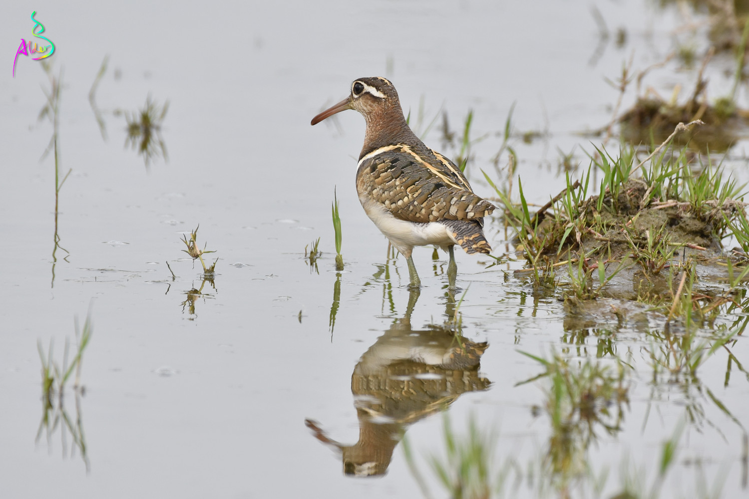 Painted_Snipe_5543