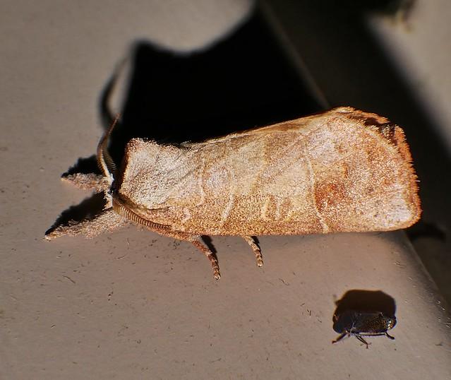Headless moth Clostera sp, Panasonic DMC-G85, Lumix G X Vario PZ 45-175mm F4.0-5.6 Asph. Power OIS