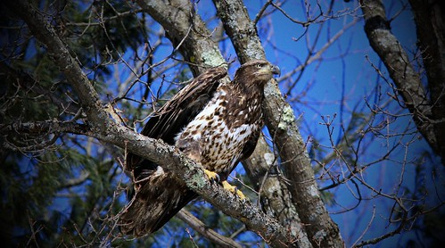Immature Bald Eagle Teal River Chequemagon N.F.