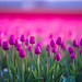 Layers of Pink and Magenta Tulips Bokeh by www.mikereidphotography.com
