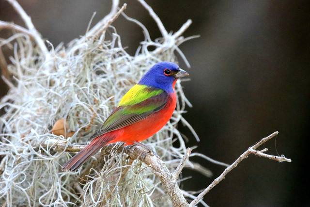 PAINTED BUNTING at Circle B Bar Reserve, Lakeland, Florida