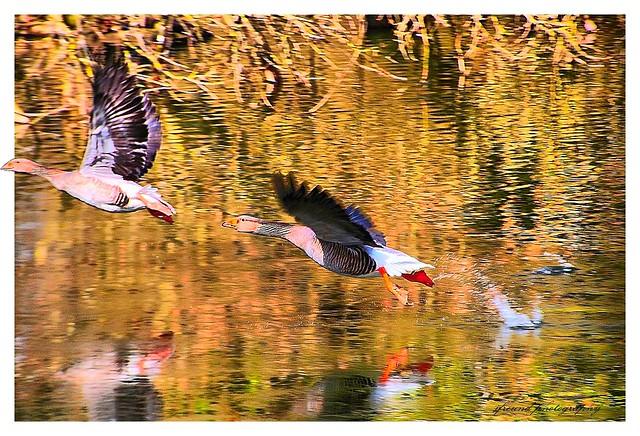 Water birds in Botanic Garden Meise