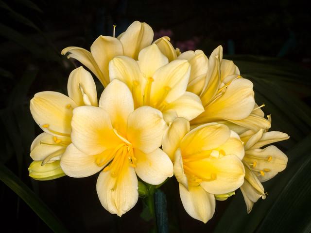 Golden Clivia