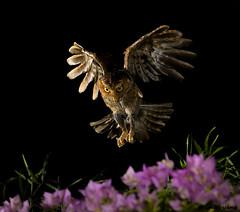 11黃嘴角鴞