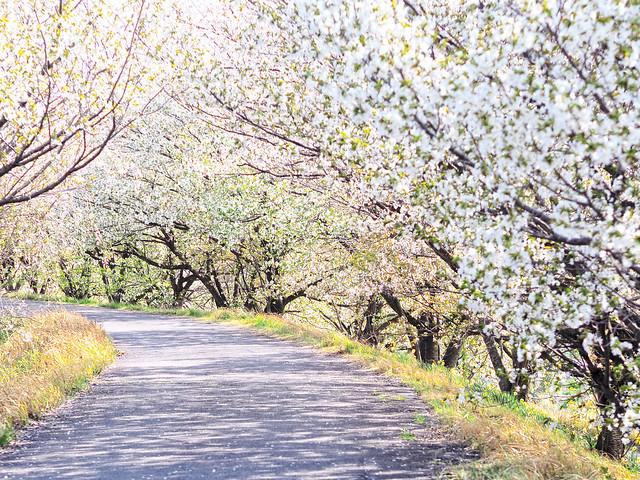 Photo:A row of cherry trees. 桜並木 By:T.Kiya