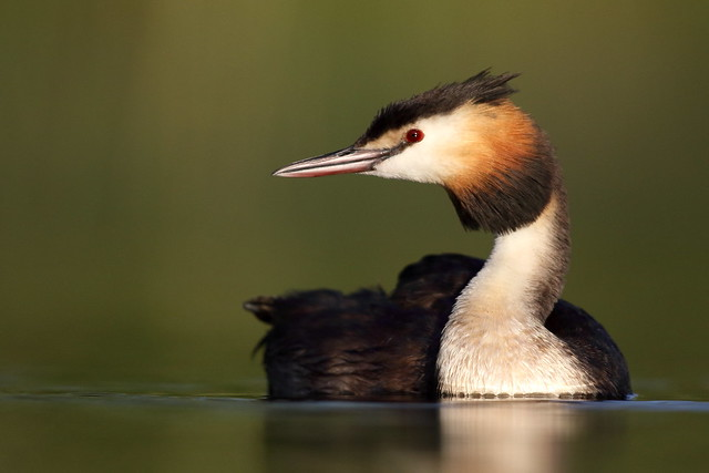grebe profile, Canon EOS 7D MARK II, Canon EF 600mm f/4L IS