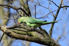 Parakeets (Psittacidae)