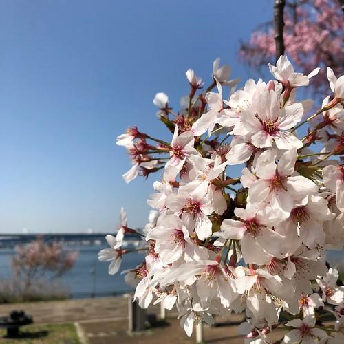 豊洲の春、桜
