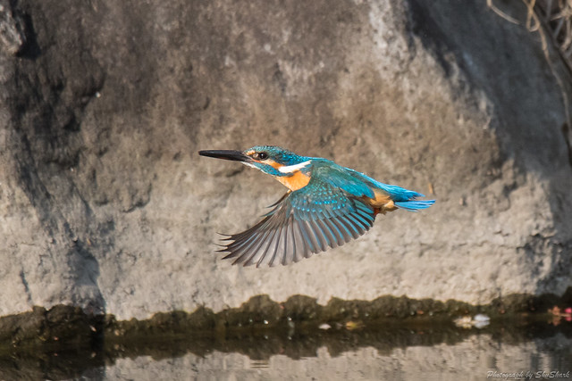 20180331-kingfisher-DSC_0638