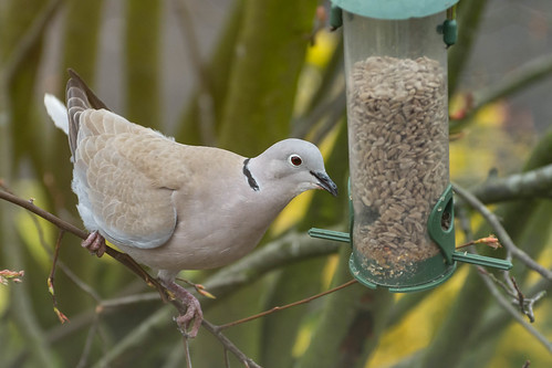 Collared dove | by JJW1969