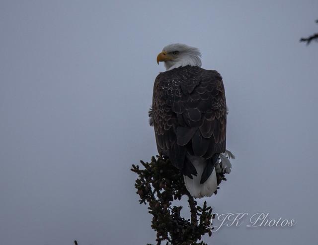 Bald Eagle Explore 04/21/18, Canon EOS 6D MARK II, Sigma 150-600mm f/5-6.3 DG OS HSM | S