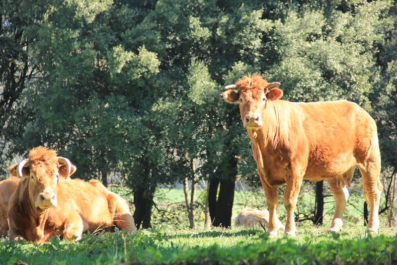 Cows, Catalonia