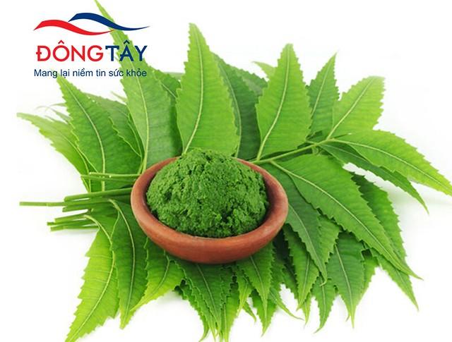 Bột lá Neem (cây Sầu Đâu) có thể chữa bệnh tiểu đường