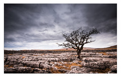 Twistleton Tree