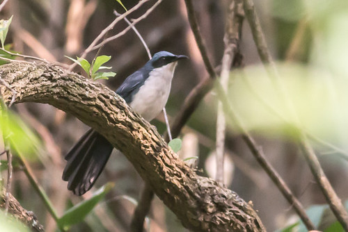 Blue-and-White Mockingbird
