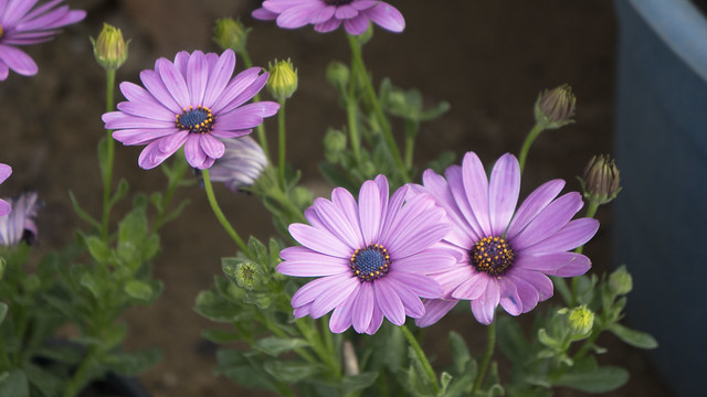 Purple daisies at Egypt's Spring Flowers Fair 2018