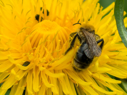 Bees collecting pollen from the common Dandelion