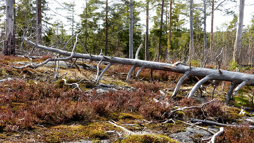 Burnt pine forest (Nuuksio national park, Velskola, Espoo, 20180420)