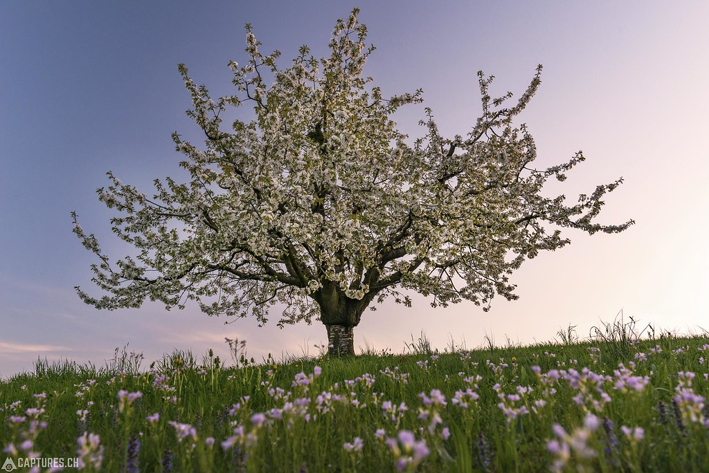 The tree in the flower field - Baselland