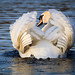 Mute Swan at Sunset