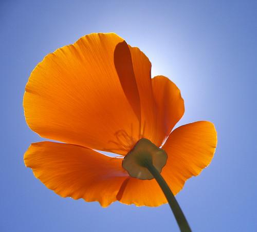 california blue shadow sky orange sun flower up wow bravo poppy sacramento backlit creamofthecrop cy mostfaves 255 suttersfort cotcbest2005 escholtziacalifornica cy2 challengeyou challengeyouwinner colorphotoaward diamondclassphotographer flickrdiamond shotsilove
