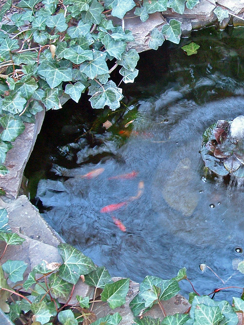 6 goldfish pond flickr photo sharing for Best goldfish for outdoor pond