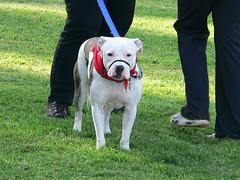puppy(0.0), dog breed(1.0), animal(1.0), dog(1.0), old english bulldog(1.0), dogo argentino(1.0), pet(1.0), olde english bulldogge(1.0), mammal(1.0), guard dog(1.0), american bulldog(1.0),