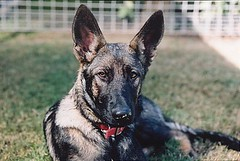 czechoslovakian wolfdog(0.0), norwegian elkhound(0.0), lycaon pictus(0.0), police dog(0.0), saarloos wolfdog(0.0), dog breed(1.0), german shepherd dog(1.0), animal(1.0), dog(1.0), dutch shepherd dog(1.0), pet(1.0), mammal(1.0), tervuren(1.0), belgian shepherd malinois(1.0), belgian shepherd(1.0), wolfdog(1.0), east-european shepherd(1.0), shiloh shepherd dog(1.0),