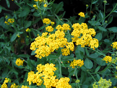 yarrow(0.0), shrub(0.0), common rue(0.0), mustard(0.0), rue(0.0), common tansy(0.0), lantana camara(0.0), annual plant(1.0), flower(1.0), alyssum(1.0), yellow(1.0), plant(1.0), subshrub(1.0), herb(1.0), flora(1.0),
