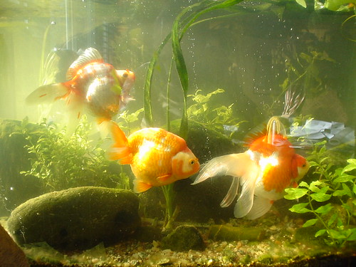 Frank's Fat Fishies