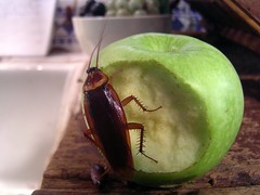 Cockroaches, Cockroach on an apple