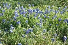 prairie, flower, plant, herb, meadow, bluebonnet,