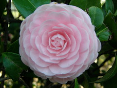 garden roses, rosa 㗠centifolia, flower, plant, camellia japonica, theaceae, peony, pink,