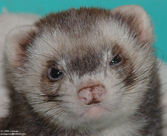 nose, animal, weasel, snout, mustelidae, mammal, fauna, polecat, whiskers, black footed ferret, mink, ferret,