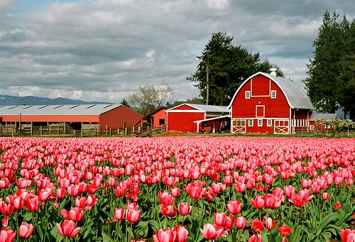 Pink Tulips and a Red Barn