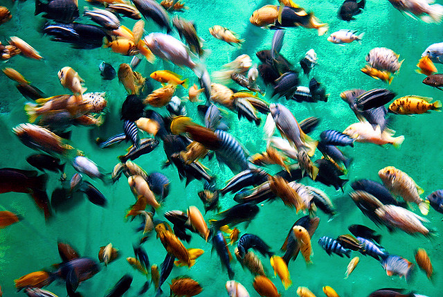 African colors explosion flickr photo sharing for Lake malawi fish