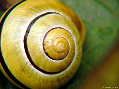 schnecken(0.0), escargot(0.0), animal(1.0), sea snail(1.0), molluscs(1.0), snail(1.0), yellow(1.0), macro photography(1.0), fauna(1.0), close-up(1.0),