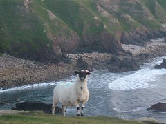 sheep poses at Bloody Foreland.
