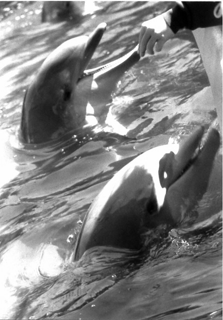 dolphins in black and white | Flickr - Photo Sharing!
