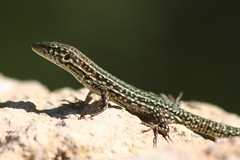 smooth newt(0.0), green lizard(0.0), animal(1.0), reptile(1.0), lissotriton(1.0), lizard(1.0), macro photography(1.0), gecko(1.0), fauna(1.0), close-up(1.0), lacerta(1.0), lacertidae(1.0), dactyloidae(1.0), scaled reptile(1.0), wildlife(1.0),