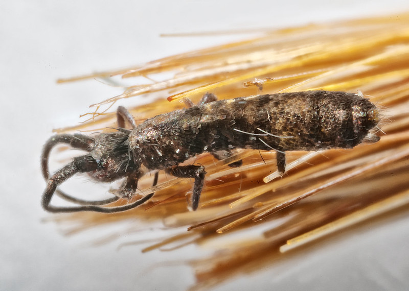 Pogonognathellus longicornis